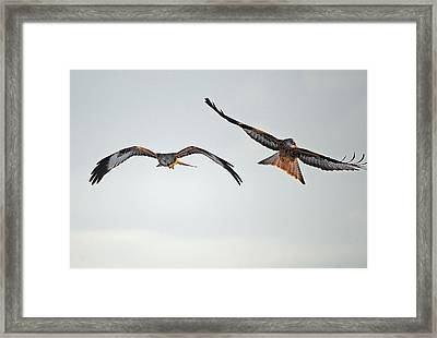 red Kites. Framed Print by Andrew Chittock