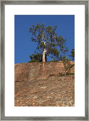 Red Pine Tree Framed Print by Ted Kinsman
