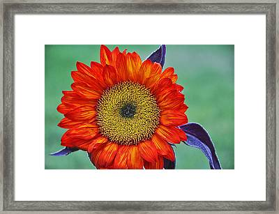 Red Sunflower  Framed Print by Saija  Lehtonen