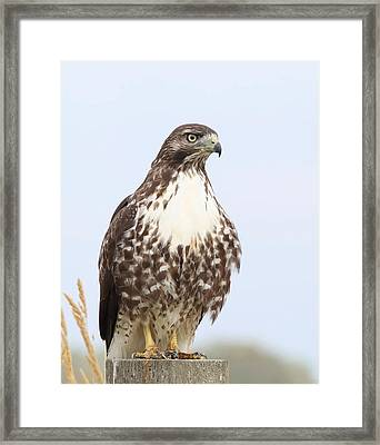 Red-tail Hawk  Framed Print by Angie Vogel