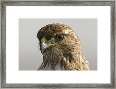 Red Tailed Hawk Juvenile Stevens Creek Framed Print