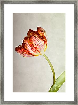 Red Tulip Framed Print by Nailia Schwarz