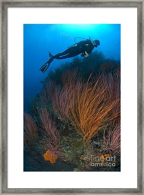 Red Whip Fan Coral With Diver, Papua Framed Print by Steve Jones