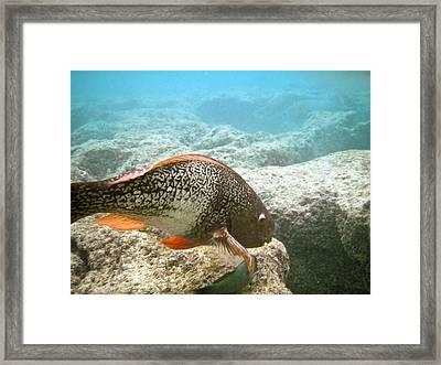 Redlip Parrotfish Framed Print by Michael Peychich