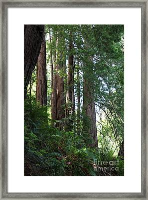 Redwoods Sequoia Sempervirens Framed Print by Ted Kinsman
