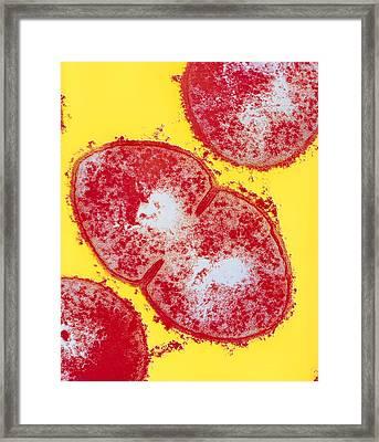 Resistant Streptococcus Pyogenes Strain Framed Print