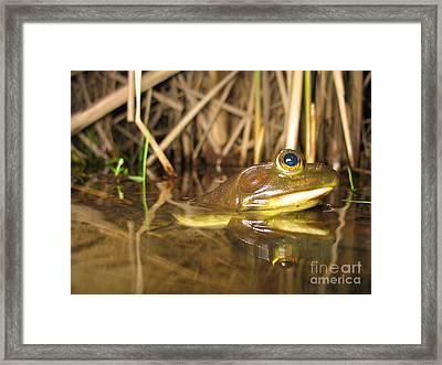 Resting Bullfrog Framed Print by Ted Kinsman