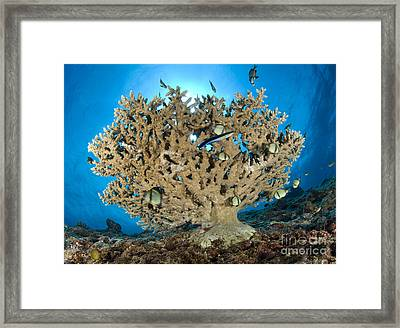 Reticulate Humbugs Gather Under Stone Framed Print by Steve Jones
