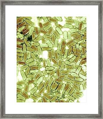 Rhabdovirus, Tem Framed Print by Ami Images