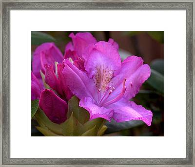 Rhododendron Bloom Framed Print by Mel Hensley