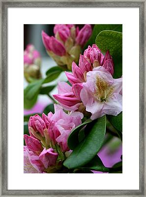 Rhododendron In Bloom Framed Print by Valia Bradshaw