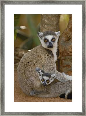 Ring-tailed Lemur Lemur Catta Mother Framed Print by Pete Oxford