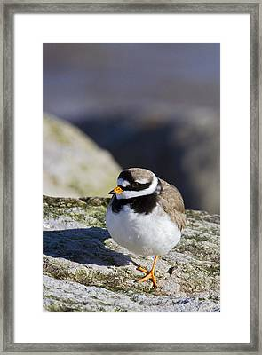 Ringed Plover Framed Print