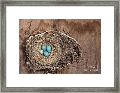 Robins Nest And Cowbird Egg Framed Print by Ted Kinsman
