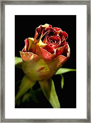 Rose Bud (rosa Sp.) Framed Print by Lawrence Lawry