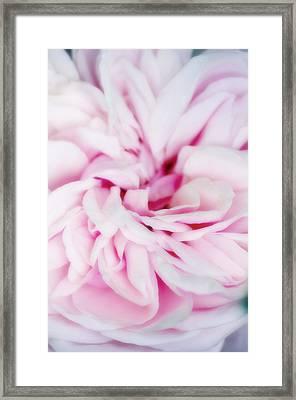 Rose Flower (rosa Sp.) Framed Print by Maria Mosolova