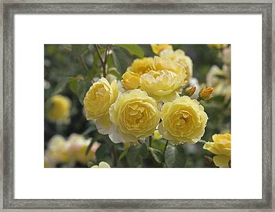 Rose (rosa 'charlotte Auspoly') Framed Print by Dr Keith Wheeler