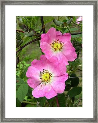Roses (rosa Sp.) Framed Print by Tony Craddock