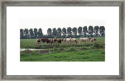 Row Of Cattle Grazing In A Pasture In The Netherlands Framed Print by Randall Nyhof