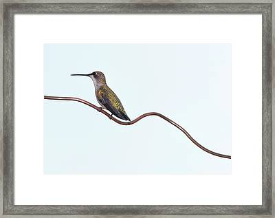 Ruby Throated Hummingbird Framed Print by Jim McKinley