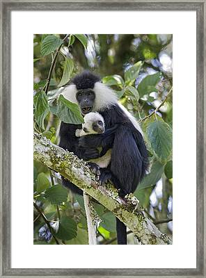 Ruwenzori Black-and-white Colobi Framed Print by Tony Camacho