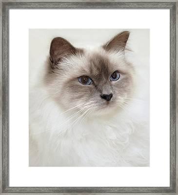 Sacred Birman Cat With Blue Eyes Framed Print by MariaR