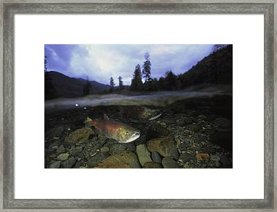 Salmon, Clayoquot Sound, Vancouver Framed Print by Joel Sartore