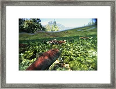 Salmon Underwater, Clayoquot Sound Framed Print by Joel Sartore