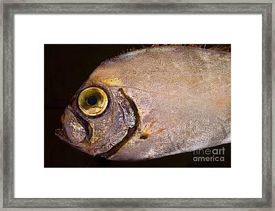 Scalloped Ribbonfish Framed Print by Dante Fenolio