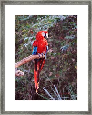 Scarlet Macaw Framed Print by DiDi Higginbotham