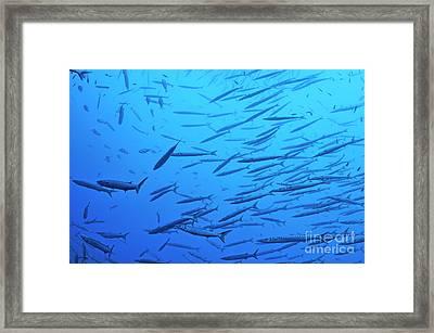 School Of Barracudas In Mediterranean Sea Framed Print by Sami Sarkis