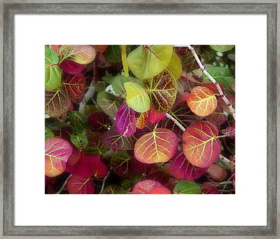 Sea Grape Framed Print by Joseph G Holland