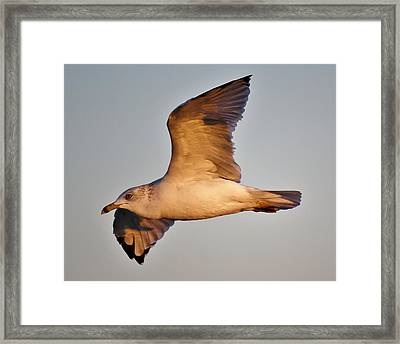 Sea Gull At Twilight Framed Print by Paulette Thomas