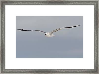 Sea Gull In Flight Framed Print by Mike Rivera
