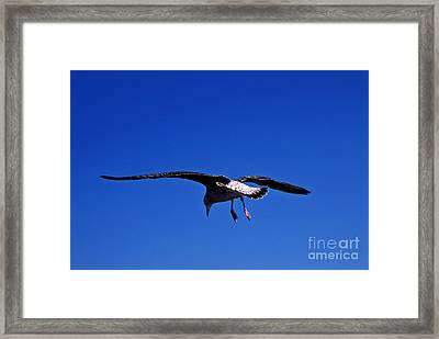 Seagull In Flight Framed Print by John Greim