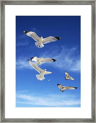 Seagulls Ascending Framed Print