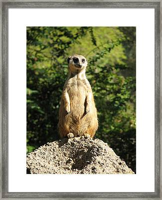 Framed Print featuring the photograph Sentinel Meerkat by Carla Parris