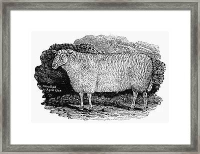 Sheep, 1798 Framed Print