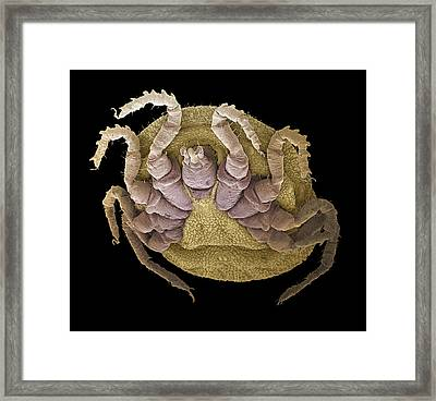 Sheep Tick, Sem Framed Print by Steve Gschmeissner