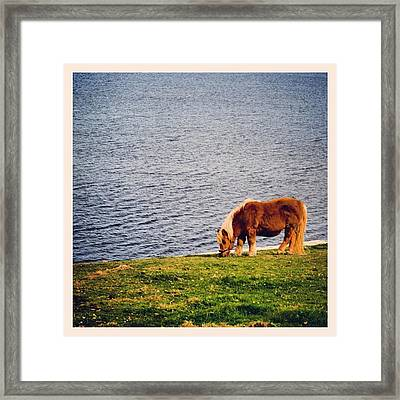 Shetland's Pony Framed Print