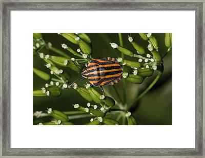 Shield Bug Framed Print by Bob Gibbons
