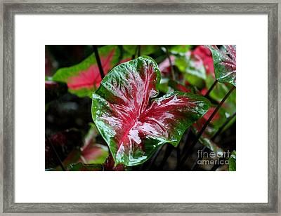 Shiny Caladium Framed Print by Theresa Willingham