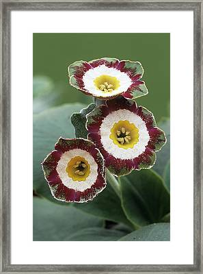 Show Auricula 'astolat' Flowers Framed Print by Archie Young