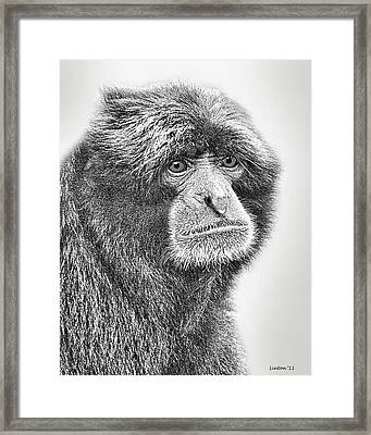 Siamang Framed Print by Larry Linton