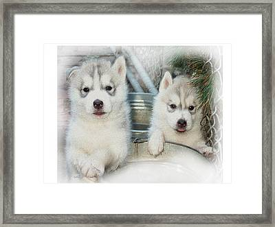 Siberian Husky Puppies Framed Print by Jean Gugliuzza