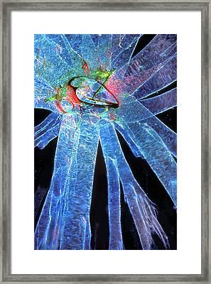 Silk Moth Caterpillar Breathing Pore Framed Print by Dr Keith Wheeler