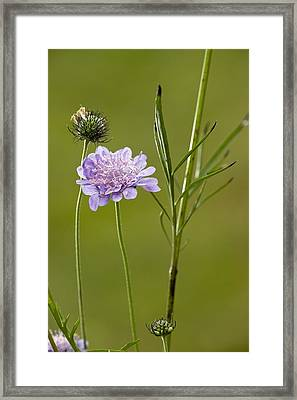 Small Scabious (scabiosa Columbaria) Framed Print