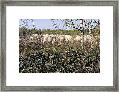 Snakes Mating Framed Print by Alan Sirulnikoff