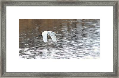 Framed Print featuring the photograph Snowy Egret Flight by Mark J Seefeldt