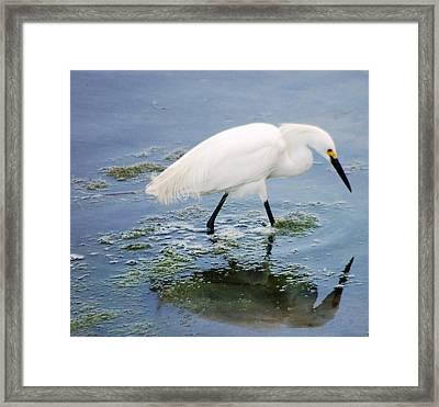 Snowy Egret Framed Print by Meeli Sonn